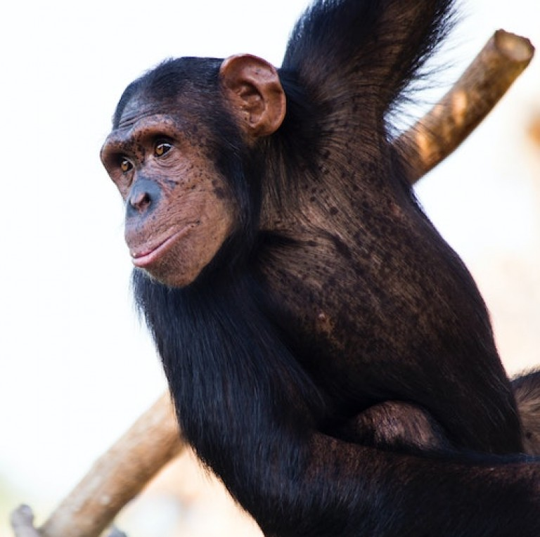 simpanz_01